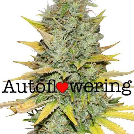 gold-leaf-autoflower