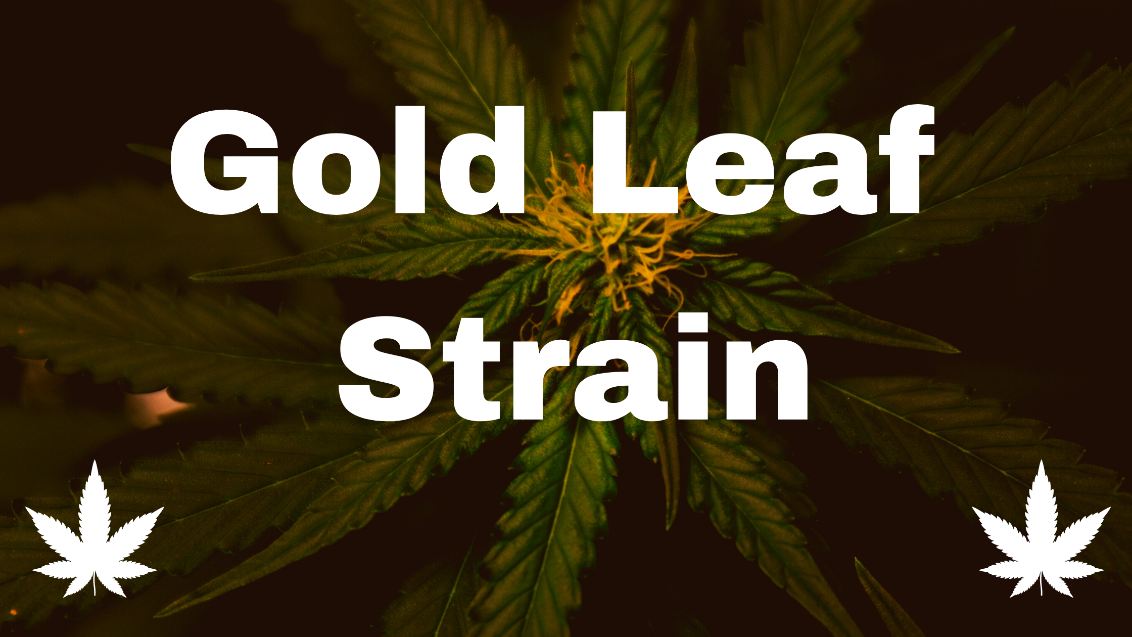gold leaf strain
